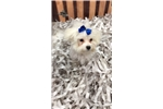 Picture of Einstein Cute Maltese Puppy for Sale Queens NY