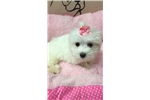 Picture of Rapunzel Cute Maltese Puppy for Sale Queens NY