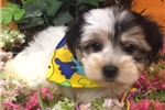Picture of ORVILLE is a cute MORKIE Puppy for Sale NY