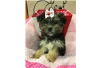 Picture of Vixey Cute Morkie Puppy Sale in Queens NY