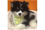 Picture of Banzai cute Pomeranian Puppy for Sale Queens NY