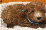 Picture of Simba Cute Poodle Puppy for Sale in NY