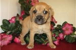 Picture of Pumbaa cute Puggle Puppy for Sale Queens NY