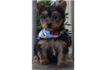 Picture of Tinker Bell cute Silky Terrier Puppy for Sale