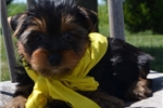 Picture of Kovu cute Silky Terrier Puppy for Sale