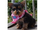 Picture of Nala cute Silky Terrier Puppy for Sale