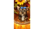 Picture of Zira cute Silky Terrier Puppy for Sale