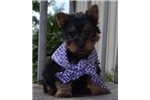 Picture of Peter Pan cute Silky Terrier Puppy for Sale