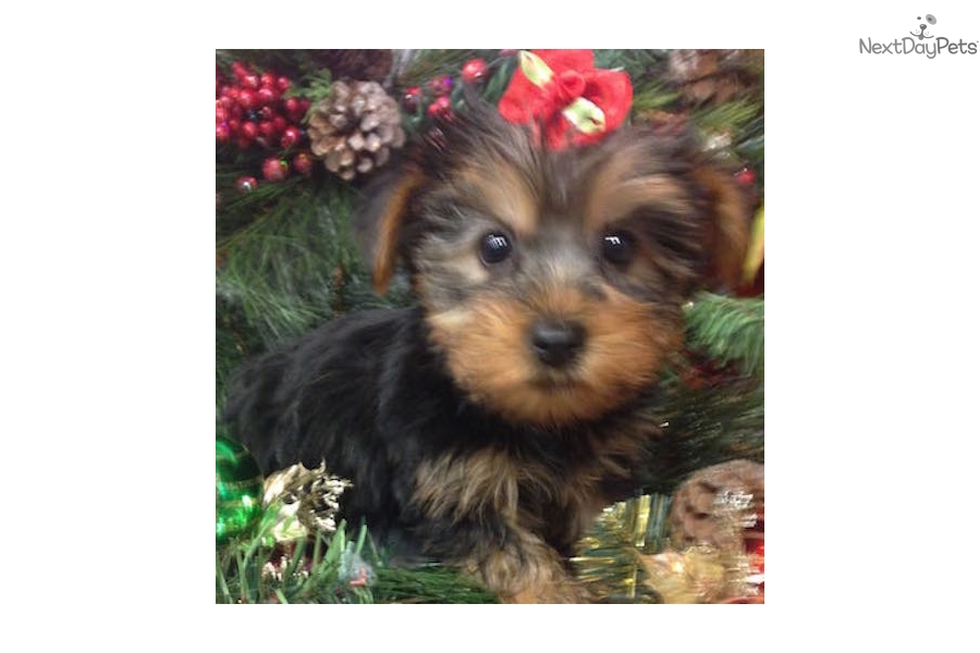 New York Yorkie Dog Dog Breeds Picture