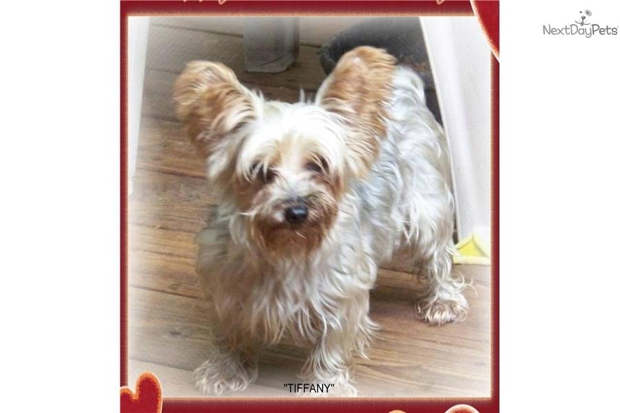 yorkshire terrier   yorkie puppy for adoption near df40006d 0822