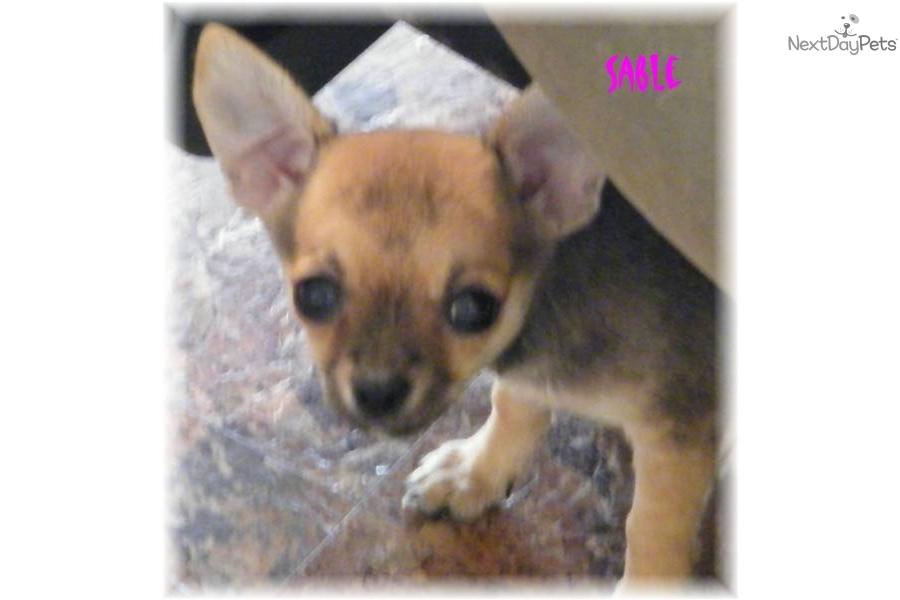 Chihuahuas for Sale Iowa - Purebred Pups