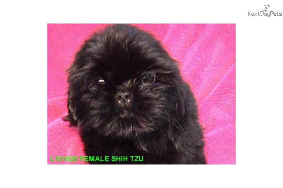 All-Black Shih Tzu Puppies