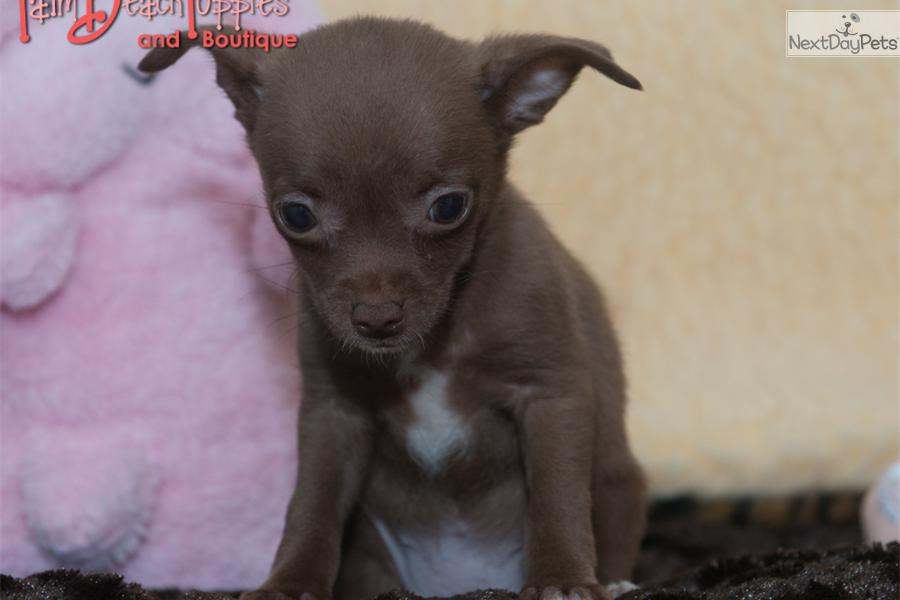 palm harbor dogs 4 sale puppy breeders florida puppies for