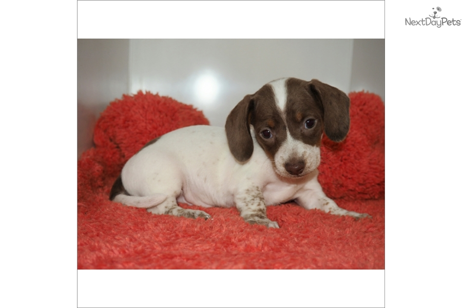 ... males dog breeds picture for sale dapple dachshund puppies