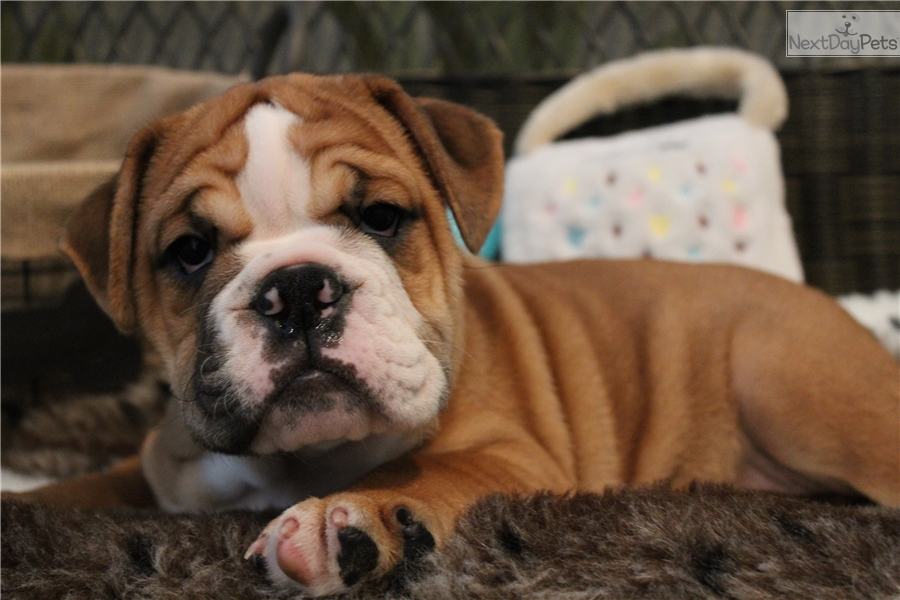 Bulldog Is A Medium Sized Breed Of Dog Commonly Referred