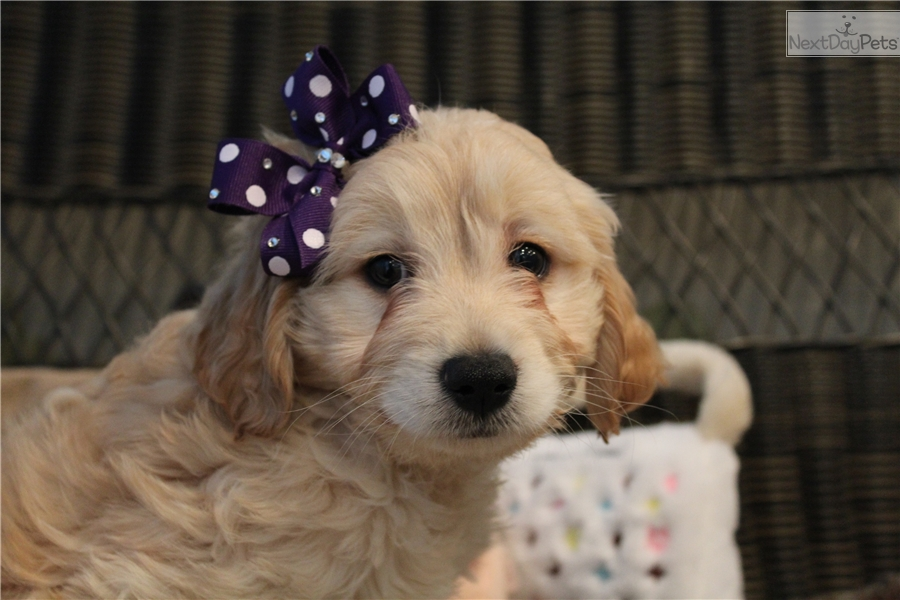 Toy Poodle Puppies For Sale In West Palm Beach