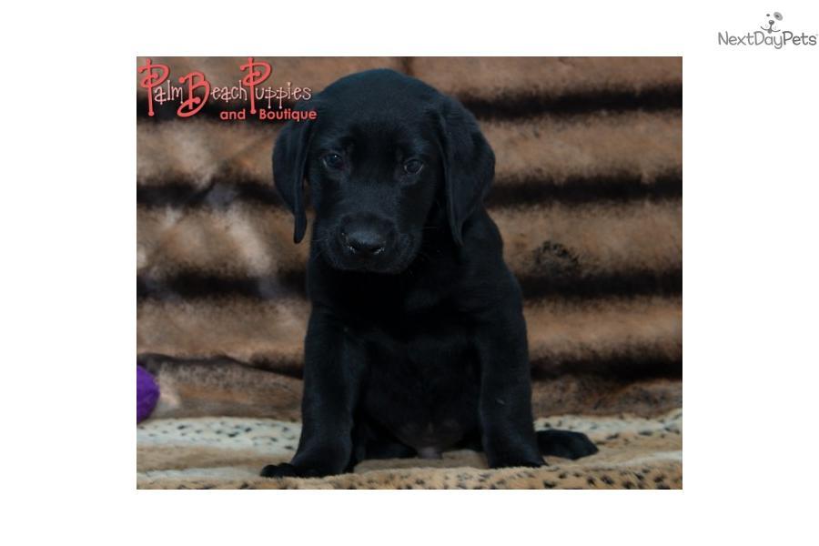 Handsome And Stalky Black Labrador Retriever