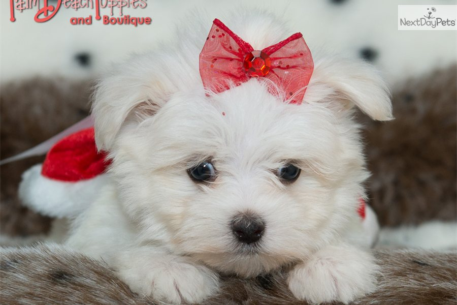 Teacup Maltese Puppy Maltese Puppy For Sale In Chicago Il | Dog Breeds ...