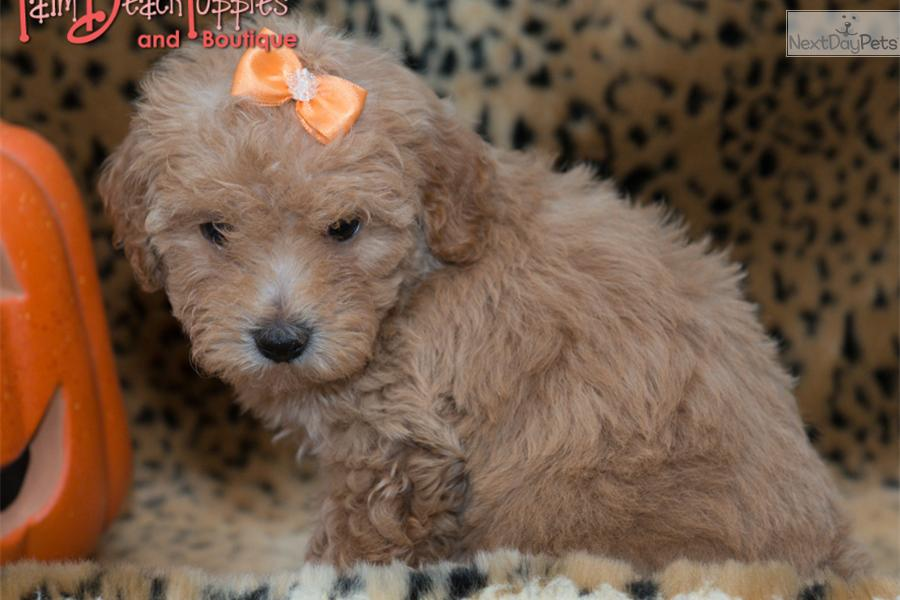Maltipoo Puppies For Sale West Palm Beach