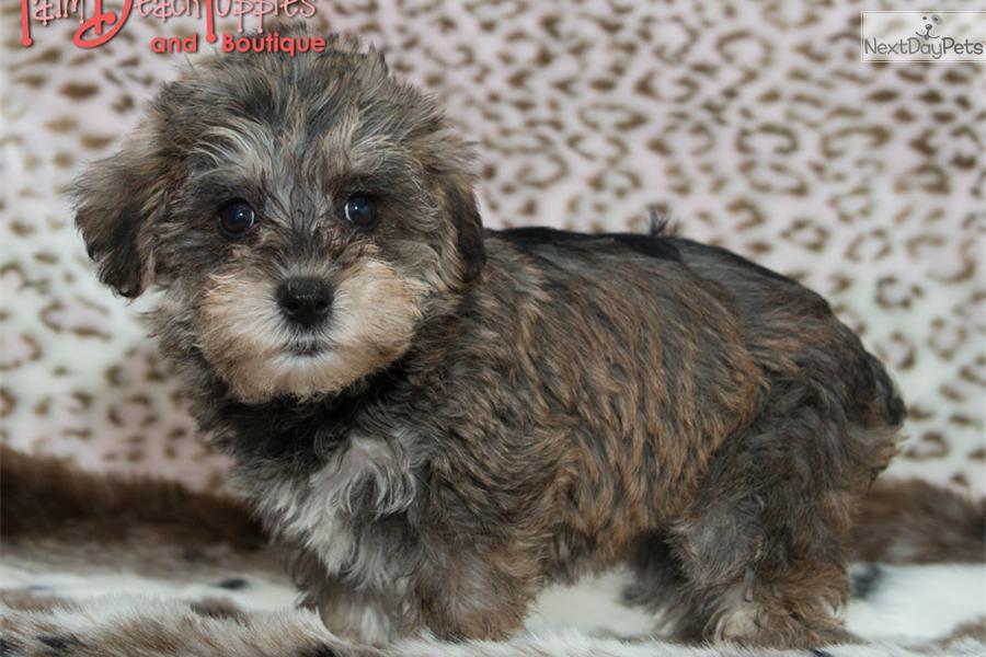 Schnoodlesoffun Schnoodle Puppy For Sale Near West Palm Beach