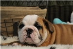 Picture of FULL AKC! Stocky, compact English Bulldog puppy