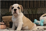 Picture of Handsome and Playful Victorian Bulldog