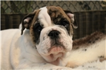 Picture of Hand full of wrinkles, English Bulldog puppy