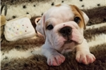 Picture of Chubby, red & white english bulldog puppy