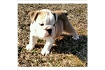 Picture of Full akc, stalky english bulldog female