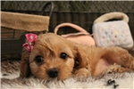 Picture of Adorable little cavachon puppy