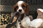 Picture of Gorgeous Cavalier Female Puppy!