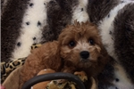 Picture of Too Cute Cavapoo Female Puppy!