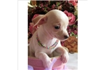 Picture of SO TINY AND CUTE CHIHUAHUA FEMALE!