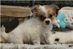 Picture of SWEET AND LOVABLE LONG HAIR CHIHUAHUA FEMALE