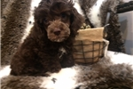 Picture of Handsome Chocolate Cockapoo Puppy!