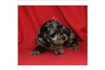 Picture of Super Adorable Cockapoo Puppy!