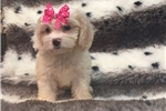 Picture of SUCH A SWEET COCKAPOO FEMALE PUPPY!