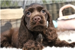 Picture of GORGEOUS CHOCOLATE COCKER SPANIEL BABY!