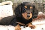 Picture of Spunky, black & Tan Mini Dachshund puppy