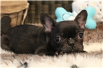 Picture of Loveable, stalky french Bulldog baby boy