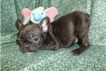 Picture of Petite, compact French Bulldog female