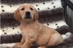 Picture of GOLDEN RETRIEVER FEMALE WITH TONS OF LOVE TO GIVE