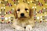 Cavalier King Charles Spaniel for sale