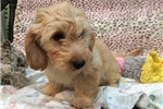 Picture of So Cute Mini Goldendoodle!