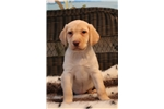 Picture of Playful, happy yellow lab female