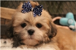 Picture of Teddy bear face, Lhasa Apso puppy