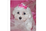 Picture of CUTE LITTLE FEMALE MALTESE