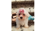 Picture of TINY LITTLE BALL OF FLUFF MALTESE FEMALE