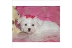 Picture of GORGEOUS LITTLE MALTESE GIRL