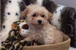Picture of Beautiful Maltipoo Female Puppy!